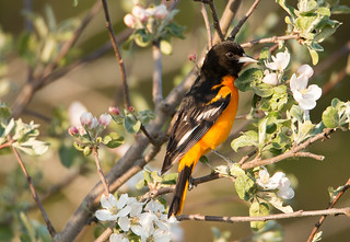 Baltimore Oriole (m)