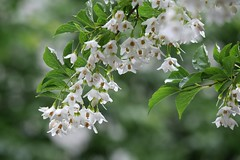/Styrax japonica (nobuflickr) Tags: styraxjaponica japanesesnowbell japanesestorax awesomeblossoms   20160510p1060072