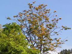 Sand Dune Park (William Cullen) Tags: trees manhattanbeach sanddunepark grevilliarobusta silkoaktree williamcullen