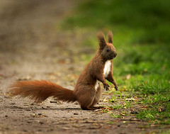 On the road (hedera.baltica) Tags: squirrel redsquirrel wiewirka sciurusvulgaris eurasianredsquirrel wiewirkapospolita