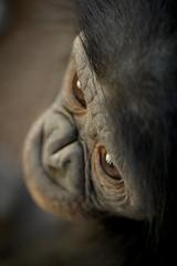 Mother (Oddernod) Tags: baby animal canon zoo sandiego outdoor tokina ape daytime sandiegozoo bonobo greatape babyanimal babybonobo tokina10028macro canont2i