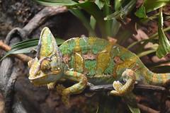Karma (Sarah Zappe) Tags: chameleon reptiland pennsylvania zoo lizard animal