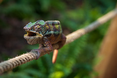 Don't touch me! (kevinschr) Tags: colour macro nature animal chameleon