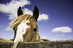 'Buscando algo disperso..' (Suzana Fernandes Fotografia) Tags: horse rio azul rural caballo grande do cu campo cavalo gauchos sul franja malacara tupancireta