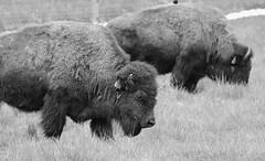 Buffalo, Fermilab. 11 (EOS) (Mega-Magpie) Tags: bw usa white black america canon outdoors eos illinois buffalo outdoor dupage il ur batavia kane fermilab winfield bison monochorme 60d
