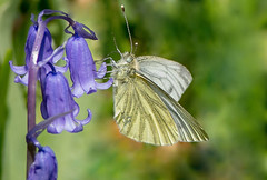 JWL8004 Green Veined White... (jefflack Wildlife&Nature) Tags: nature butterfly countryside woodlands wildlife butterflies insects lepidoptera greenveinedwhite