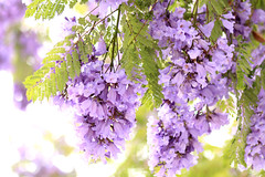 Jacarandas Close Up (Mademoiselle Mermaid) Tags: california losangeles purple santamonica jacaranda purpleflowers jacarandas jacarandatree flowerphotography purpletrees jacarandatrees purplefloweringtrees mademoisellemermaid