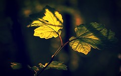 Your light in the dark... (Yoli Of Shalott (Off for a couple of weeks)) Tags: light naturaleza sunlight detalle detail primavera luz nature leaves closeup leaf spring nikon focus bokeh bosque iluminacion d3100