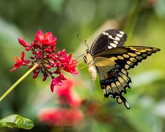 B36C4959 (WolfeMcKeel) Tags: vacation lake butterfly giant keys spring key florida wildlife butterflies national crocodile largo swallowtail refuge nwr 2016 floridakeys2016vacationspring