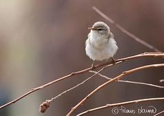 Pajulintu Phylloscopus trochilus), Willow Warbler (Paavo Laine) Tags: bird lappi kesä paju lintu phylloscopustrochilus pikkulintu pajulintu kertut