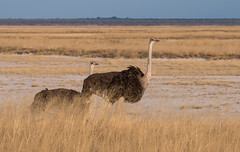 Ostrich at Etosha (Randy K2) Tags: park ostrich national namibia etosha