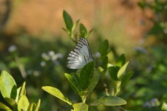 Simplicity (Aurora Liew) Tags: morning white macro green nature butterfly insect countryside flora backyard nikon colourful upclose macrophotography