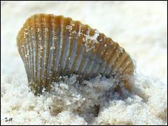 Seashell in the Sand (Suzanham) Tags: seashell shell sand beach shore gulfshores fantasticnature ocean
