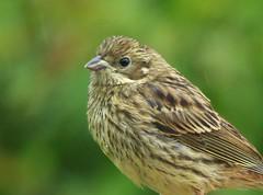 Rain, Rain, Rain...x (lisa@lethen) Tags: bird nature rain weather yellow hammer wildlife chick