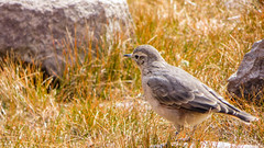 Dormilona de ceja blanca (White-browed Ground-Tyrant) (Matias Barrios) Tags: chile bird fauna cajondelmaipo groundtyrant dormilonadecejablanca reservaelmorado