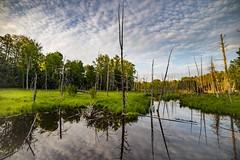 Swamp reflections - Wellston (Notkalvin) Tags: trees water clouds reflections outdoor michigan nopeople swamp deadtrees wellston manisteenationalforest mikekline notkalvin notkalvinphotography