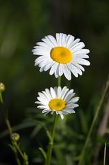 Wild Flowers (t5909sw) Tags: flowers ladybug morningdew grandrapidsmichigan t5909sw