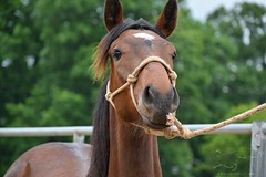 52 (CrevanNight) Tags: spring horse horses farm farms country equine train training thoroughbred thoroughbreds yearling yearlings cute pretty couple sweet equines new experience life lover stubborn young amish lancaster pennsylvania pa