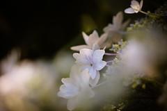 (mizuk@) Tags: flower japan canon garden hydrangea  mie