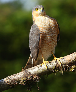 SPARROWHAWK....male....Powys....Catching for two at the moment, female still sitting, about a week to go..Press L.