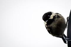 Scruff (TheWildFireOne) Tags: summer bird animal garden scotland tit wee coal scruffy 500px