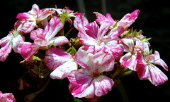 Flowers In A Bouquet (Khaled M. K. HEGAZY) Tags: pink white plant black flower macro green nature closeup nikon outdoor egypt pistil petal stamen coolpix bud p520 orabi