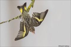 Pine Siskin Territorial Display (Daniel Cadieux) Tags: yellow wings backyard ottawa finch pinesiskin aggressive territorial siskin liche winterfinch