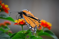 Vignetted Monarch on bright flowers (adamsdale616) Tags: new flowers autumn light summer sky usa lake flower color macro nature water beauty wisconsin garden landscape golden spring pond nikon midwest colorful outdoor dusk butterflies northern d7200