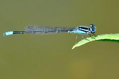 Skimming bluet (SouthWestDreams ) Tags: damselfly gitzo bluet tamron90macro skimmingbluet