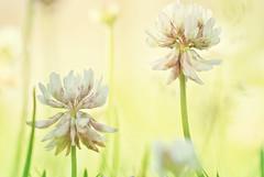 Just weed (frata60) Tags: macro nature netherlands closeup weed nikon nederland natuur 55mm micro adapter nikkor v1 onkruid