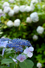 (Styro4mer) Tags: blue flower nature japan nikon bokeh kamakura snap hydrangea  meigetsuin  d40 lacecaphydrangea nikond40 nikkor35mmf18g afsdxnikkor35mmf18g