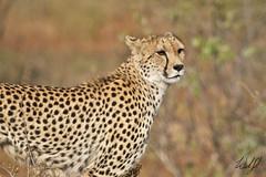 Cheetah- Kruger National Park, South Africa (wsweet321) Tags: africa bird nature southafrica mammal birding safari research bigcat cheetah endangered krugernationalpark kruger satara savanna bigfive skukuza knp lowersabie