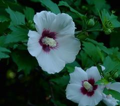 Swamp Rose Mallow (Dendroica cerulea) Tags: summer plants flower newjersey nj hibiscus malvaceae highlandpark rosemallow wildflower hibiscusmoscheutos middlesexcounty swamprosemallow malvales malvoideae hibisceae easternrosemallow highlandparkmeadows