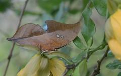 Zaretis itis strigosus (robertoguerra10) Tags: brown butterfly photo foto natureza camouflage borboleta folha seca senna exotica marrom camoflagem