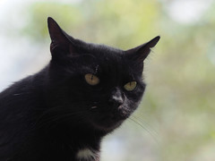 Garten Juni 2016 nasz ogrod (arjuna_zbycho) Tags: pet cats pets flower cute animal animals cat blackcat kitten feline chat kitty blumen kittens tuxedo gato jasmin tuxedocat gatto katzen haustier kater tier badenbeiwien gattini hauskatze kocio kwiatyrosen