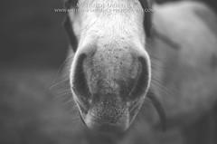 Horse (Mathilde-Laurence) Tags: horses blackandwhite horse france nature field 35mm cheval nikon roadtrip champ chevaux saintvalery baiedesomme equitation pature saintvalerysursomme d7000 nidond7000