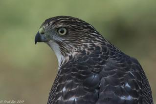 Cooper's Hawk [Accipiter cooperii] portrait