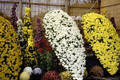 (ddsnet) Tags: travel plant flower japan sony resolution  nippon   chrysanthemum nihon  ilc backpackers       7r   mirrorless hygoken   interchangeablelenscamera flowerinjapan   7r ilce7r