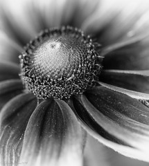 (theresa.brown1976) Tags: life flowers blackandwhite plants white plant abstract black flower macro nature floral beautiful beauty closeup outside outdoors grey petals flora soft pretty close blossom outdoor earth blossoms nopeople petal simplicity stunning cannon alive abstracts lovely elegant simple majestic naturewalk macrophotography planetearth livingthings floer beautifulearth prettypetals cannonphotography