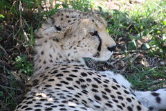 IMG_1979 (gsurya) Tags: kenya cheetah masaimara