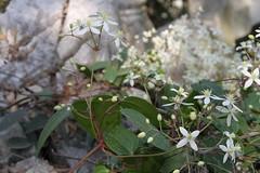 Clematis/ (Liuzhou, Guangxi/) 4565 (Petr Novk ()) Tags: china plant flower nature asia wildlife clematis asie   ranunculaceae  guangxi liuzhou    rostlina   na