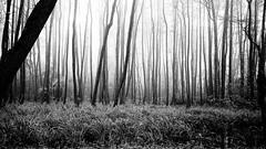 dark forest (Darek Drapala) Tags: trees light blackandwhite bw tree nature forest dark landscape lumix blackwhite poland polska panasonic fogg panasonicg5