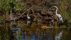 alligators 083 (dlcarpenter1970) Tags: florida aligator everglades alligators