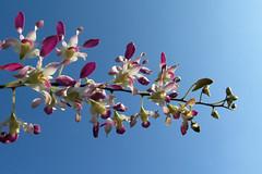 Orchidée (sosivov) Tags: flowers blue orchid flower burma violet myanmar