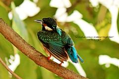 Common Kingfisher (kriengm) Tags: birds wildlife canondslr commonkingfisher birdlover canon700d birdsphotography eos700d