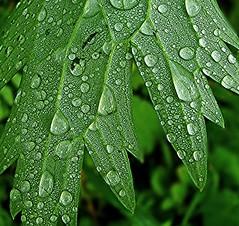 Wassertropfen II (elke_keller) Tags: verde green vert grn waterdrops blatt wassertropfen colorfulworld