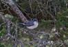 Blue-gray Gnatcatcher (jd.willson) Tags: blue birds island birding gray maine jd bluegray gnatcatcher willson islesboro