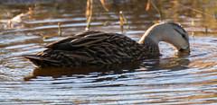 _C5A9143.jpg (Lake Worth) Tags: bird nature birds animal animals canon wings wildlife feathers wetlands everglades waterbirds southflorida 2xextender sigma120300f28dgoshsmsports