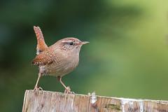 Zaunkönig (Troglodytes troglodytes) (Matthias.Kahrs) Tags: bird birds wildlife natur matthias vögel vogel zaunkönig kahrs