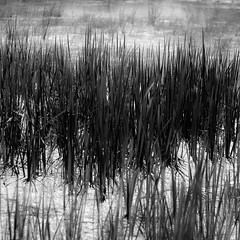 Marshland Grasses 005 (noahbw) Tags: blackandwhite bw abstract blur water monochrome grass reeds square blackwhite spring pond nikon dof natural wetlands bog marshland volobog d5000 noahbw standingpond